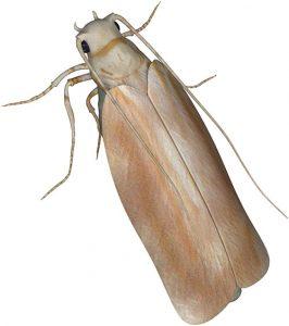 Clothes Moth pest control