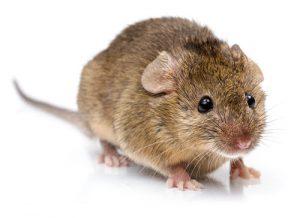 House mouse pest control