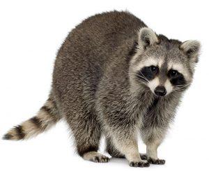 Raccoons pest control