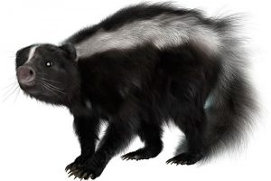 Skunks pest control