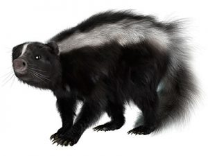Skunks pest control