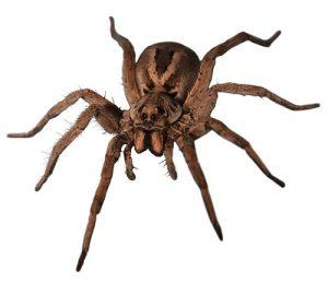 Wolf Spider pest control