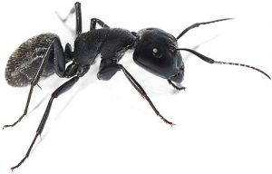 carpenter ants pest control vancouver