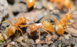 pharaoh ants pest control vancouver