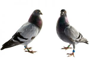 pigeons pest control